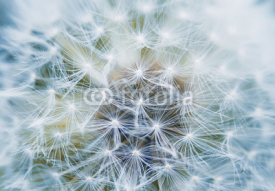 fluffy and airy inflorescence of a dandelion closeup