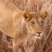Fototapety Female lion walking  through the grass