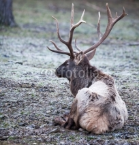 Fototapety mighty deer in nature on a frosty winter day