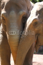 Fototapety Asiatic Elephants (Elephas maximus)