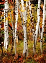 Naklejki Fall Birch Trees
