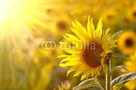 Naklejki Sunflower on a meadow in the light of the setting sun