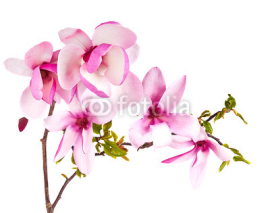 Fototapety magnolia flower on white