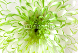 Obrazy i plakaty White - green flower closeup
