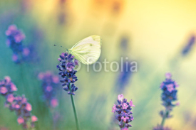 Fototapety Butterfly on lavender