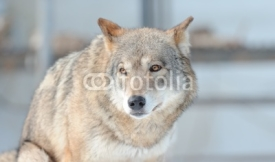 Fototapety portrait of the wolf