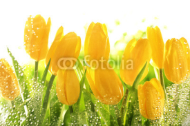 Fototapety Yellow tulips