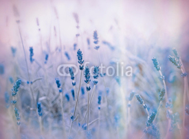 Fototapety Soft focus on lavender