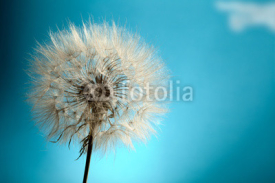 Fototapety Dandelion Isolated