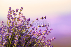 Naklejki Lavender flowers bloom summer time