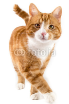Fototapety red cat, walking towards camera, isolated in white