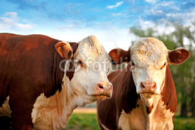 Fototapety Two curious cows