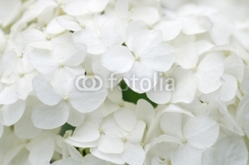 Fototapety White hydrangea blossoms as background