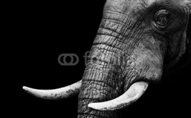 Fototapety African Elephant Close Up
