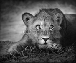 Fototapety Young lion portrait