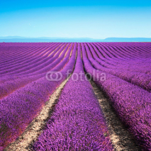 Naklejki Lavender flower blooming fields endless rows. Valensole provence
