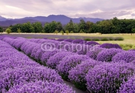 Naklejki Lavender Farm in Sequim, Washington, USA