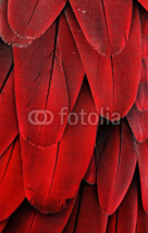 Fototapety Red Feathers