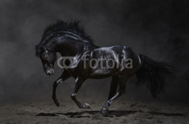 Obrazy i plakaty Galloping black horse on dark background