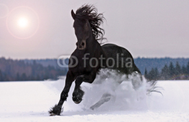 Obrazy i plakaty Frisian horse on snow