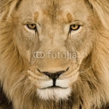 Fototapety Close-up on a Lion's head (4 and a half years) - Panthera leo