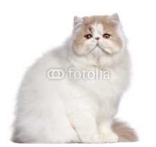 Naklejki Persian cat, 18 months old, in front of white background