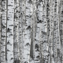 Naklejki Winter Birch Tree Forest Background
