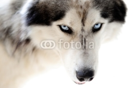 Fototapety Blue eyed husky dog on seamless white