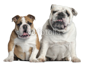 Naklejki Two English Bulldogs sitting in front of white background