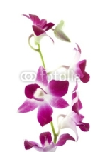 Naklejki purple orchid on white background
