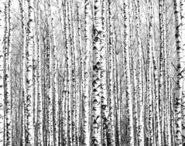 Fototapety Spring trunks of birch trees black and white