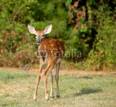 Obrazy i plakaty whitetail fawn in the wild