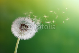 Fototapety Dandelion clock in morning sun