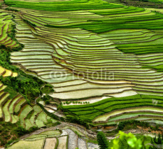 Obrazy i plakaty rice field on terraced in mountain.