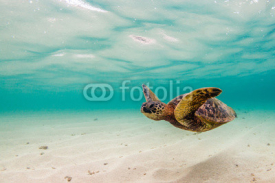 Naklejki Hawaiian Green Sea Turtle Cruising in the warm waters of the Pacific Ocean in Hawaii