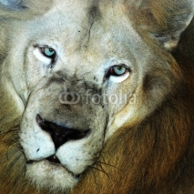 Fototapety male lion