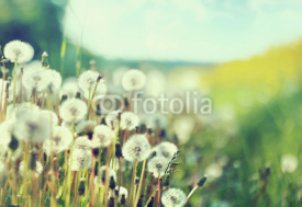Fototapety Photo presenting field of dandelions