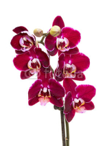 Naklejki Pink Orchid Isolated on White Background