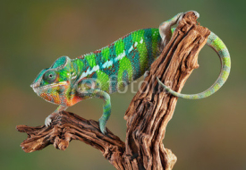 Fototapety Panther Chameleon