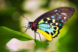 Fototapety Male Birdwing butterfly (Ornithoptera euphorion)