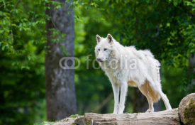 Fototapety Large adult arctic wolf in the forest