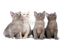 Obrazy i plakaty Four burma kittens on the white background looking up