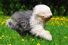 Fototapety Hairy bobtail (old English sheepdog) running in park