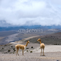 Fototapety Wild South American camel, Andes of central Ecuador